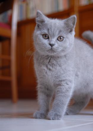 chat british shorthair gris
