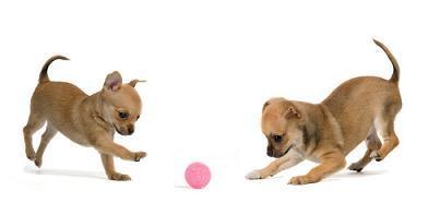 jouet pour chihuahua