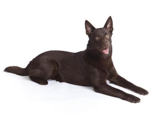 kelpie chien