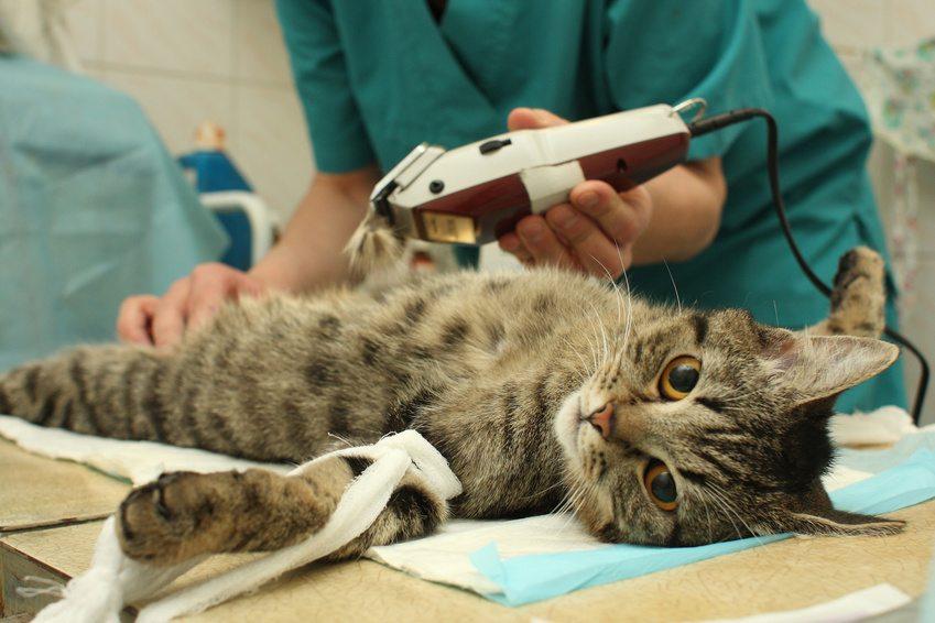 stérilisation d un chat