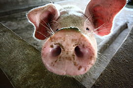 groin cochon