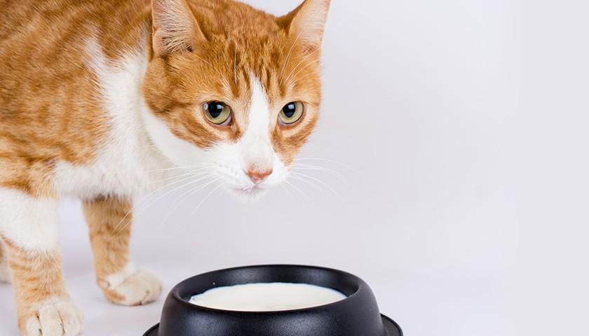 lait pour les chats